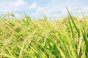 16174235 - rice plant